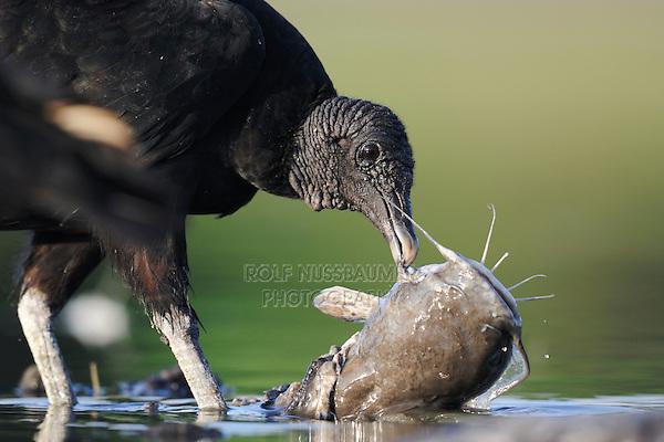Black Vulture (Coragyps atratus), adult eating on catfish , Dinero, Lake Corpus Christi, South Texas, USA