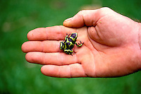 Poison dart frog, an invasive species to Hawaii