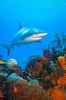 Caribbean reef shark, Carcharhinus perezii, swimming over coral reef, West End, Grand Bahamas, The Bahamas, Atlantic Ocean