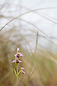 Bee Orchid (Ophyris apifera) growing in sand dune system amongst Marram Grass (Ammophila arenaria), Ainsdale Nature Reserve, Merseyside, UK. June. Photographer: Alex Hyde