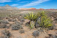 Red Rock Canyon, Nevada.  Mojave Yucca (Yucca Schidigera).  Keystone Thrust in background, showing Turtlehead Peak.  Calico Hills on right.