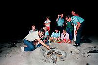 park ranger and volunteers examine loggerhead sea turtle, Caretta caretta, nesting on turtle walk, Key Biscayne, Florida, Atlantic Ocean