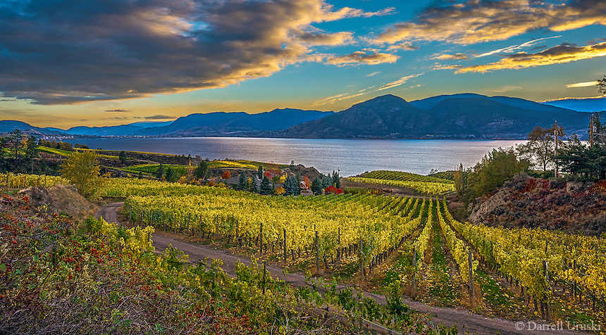 Fine Art Print Vineyard Scenic during the fall season in the Okanagan Valley, of BC, Canada.