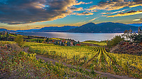 Fine Art Print Vineyard Scenic during the fall season in the Okanagan Valley, of BC, Canada.