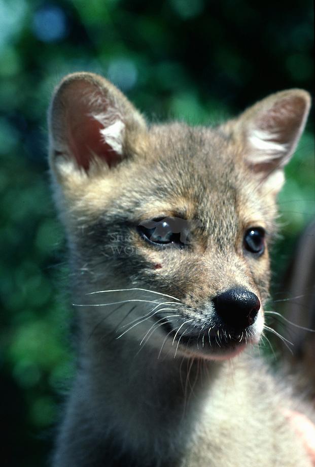 Jakhals (Canis aureus)