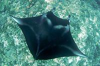 reef manta ray, Manta alfredi, from above, Manta Alley dive site, Padar Island, Komodo National Park, Indonesia, Indian Ocean