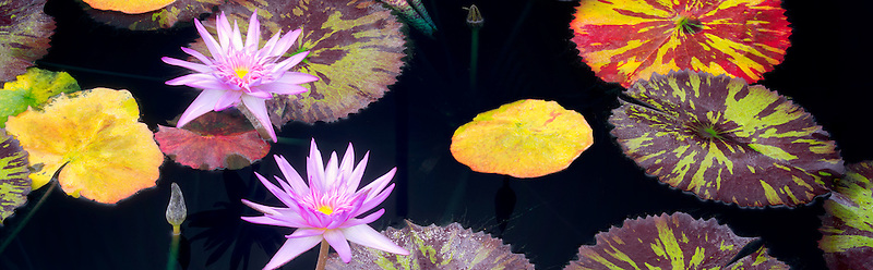 Tropical lilies and colorful leaves at Hughes Water Gardens, Oregon