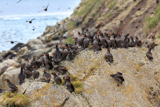Crested Auklets (Aethia cristatella) at a nesting colony in the Aleutian Islands, Alaska.