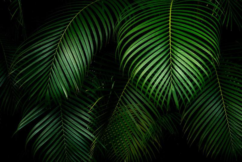 Close up of Bamboo Palm. Mahi Mahakonia mahogany plantation. From Wai Koa Loop Trail Kauai, Hawaii