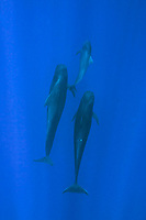 short-finned pilot whales and calf, Globicephala macrorhynchus, Hawaii, Pacific Ocean