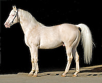 Goldmaker, unregistered cremello Thoroughbred by Glitter Please