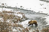 Grizzly bear walks across a open stream in the fresh winter snow in Atigun Canyon, Brooks Range, Alaska