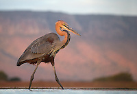 The Goliath heron is the world's tallest heron species.