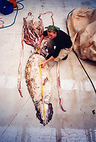 giant squid, Architeuthis dux, has never been seen alive (as an adult), but is often taken as bycatch by deep-sea trawl fisheries, as was the fate of this specimen from the south Pacific Ocean off New Zealand. MR.