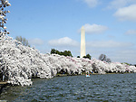 National Cherry Blossom festival Tidal Basin Washington DC, Cherry blossom Washington DC, Cherry trees in flower, Cherry trees in bloom, Japanese cherry trees, Tidal Basin, West Potomac Park, United States and Japan, Gifu Prefecture, Washington, D.C. fine art photography by Ron Bennett (c). Copyright Fine Art Photography by Ron Bennett, Fine Art, Fine Art photo, Art Photography,
