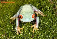 0306-0913  Red-eyed Tree Froglet (Young Frog), Agalychnis callidryas  © David Kuhn/Dwight Kuhn Photography.