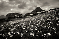 Avalanche Lilies with Mt. Reynolds and sunrise. Glacier National Park, Montana