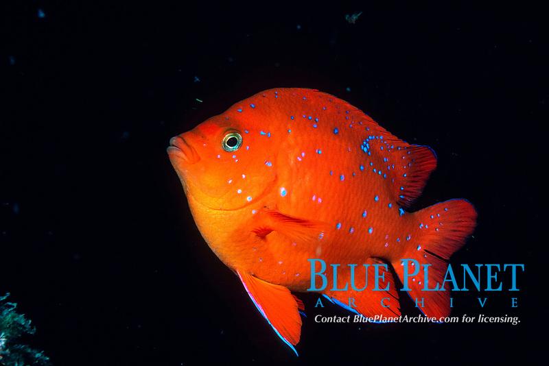 Juvenile garibaldi, Hypsypops rubicundus, California, East Pacific Ocean