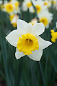 Narcissus 'Cornish King', mid April. A Division 2 large-cupped daffodil with white petals and and a lemon-yellow cup.