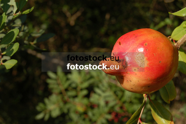 Ripe pomegranate at tree<br /> <br /> Granada madura en árbol<br /> <br /> reifer Granatapfel am Baum<br /> <br /> bot.: Punica granatum<br /> <br /> 3008 x 2000 px<br /> 150 dpi: 50,94 x 33,87 cm<br /> 300 dpi: 25,47 x 16,93 cm