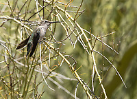 Female Black-chinned Hummingbird, Archilochus alexandri, in the Desert Botanical Garden, Phoenix, Arizona