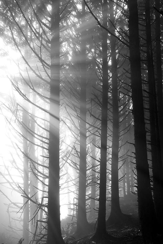 Sitka Spruce trees with god reys in fog. Samuel H. Boardman State Scenic Corridor. Oregon