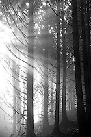 Sitka Spruce trees with god reys in fog. Samuel H. Boardman State Scenic Corridor. Oregon