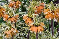 Fritillaria imperialis Aureomarginata, Great Fritillary flowers variegated foliage