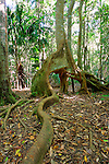 Roots of Strangler Fig, NSW