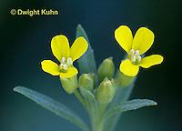 MX02-507z Wormseed mustard, Erysimum cheiranthoides