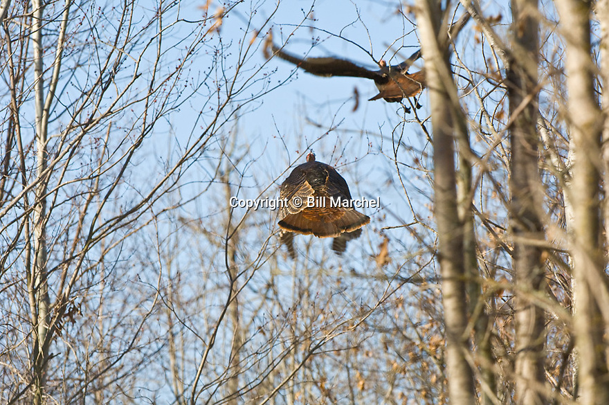 01225-093.10 Wild Turkey: Two toms are in flight among trees.  Action, fly, hunt.