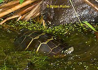 1R13-9011  Painted Turtle - Chrysemys picta  © Brian Kuhn/Dwight Kuhn Photography