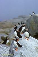 MC23-021z  Atlantic Puffin - on rocks at Machias Seal Island, Bay of Fundy - Fratercula arctica