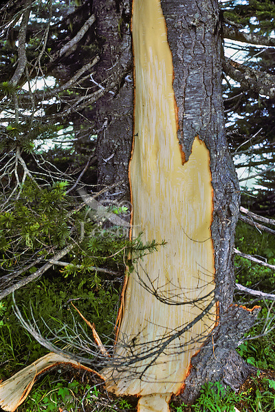 MA12  Black Bear damaged tree.  Bears strip the bark and then eat the thin cambium layer.  Pacific Northwest.  June.