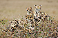 Cheetah (Acinonyx jubatus), female and young sitting on hill, Masai Mara, Kenya, Africa