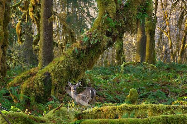Black-tailed Deer (Odocoileus hemionus) in Olympic National Park temperate rain forest.
