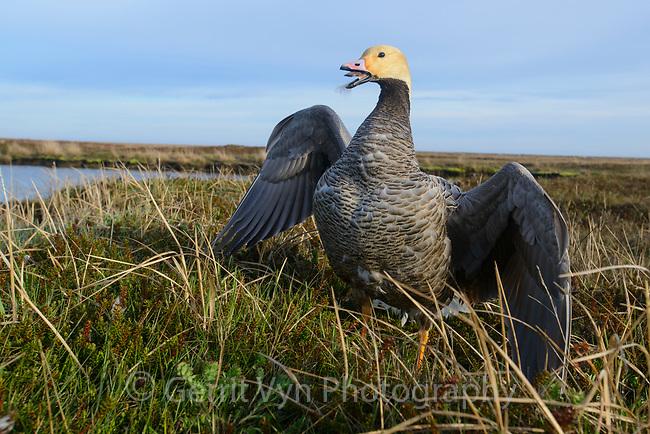 Emperor Goose (Chen canagica) in defensive posture at the nest. Yukon Delta, Alaska. June.