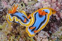 sea slug or nudibranch, Chromodoris annae, Anilao, Batangas, Philippines, Pacific