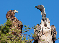 These two shared a perch above a fresh carcass. The vulture didn't want company.