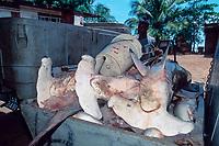 scalloped hammerhead sharks, Sphyrna lewini, in ice bin, ready to go to market, Trinidad, Trinidad and Tobago, Caribbean Sea, Atlantic Ocean