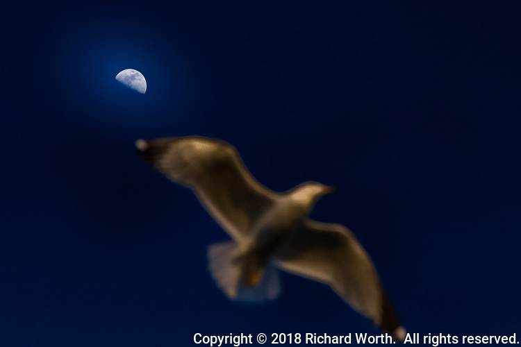 A soft-focus gull dominates the image, accentuating the in-focus first quarter moon, shining down on the shores of San Francisco Bay.