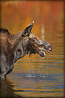 Female Moose lifting head out of water in Wyoming.  Autumn  tree colors are reflected in the water.  Water           is dripping from her mouth and teeth are visible.