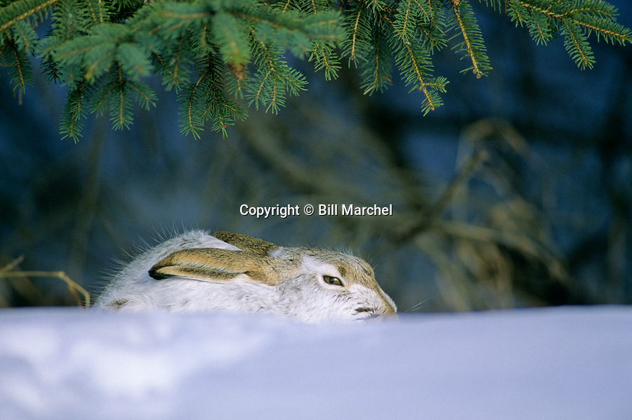 00661-002.07 White-Tailed Jack Rabbit rests under evergreen in typical sunny spot.  Form, rest, cold, winter.