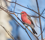 Male pine grosbeak