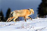 Adult red fox (Vulpes vulpes) walking through strong winds, with stormy skies. Hayden Valley, Yellowstone, USA. January