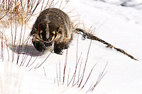 American Badger (Taxidea taxus) out for a winter stroll. A male badger is a boar, a female is a sow and a young badger is a cub.
