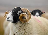Swaledale ewes on Askrigg Common, near Swaledale, North Yorkshire.
