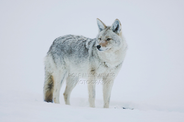 Coyote (Canis latrans), adult in snow, Yellowstone National Park, Wyoming, USA