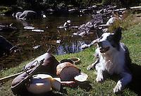 Europe/France/Languedoc-Roussillon/66/Pyrénées -Orientales/Cerdagne/Montlouis: Cap chien de berger Border Collie  surveille le casse-croute de  son maitre berger au Plateau des Bouillouses