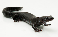 Blue-Spotted Salamander.Ambystoma laterale